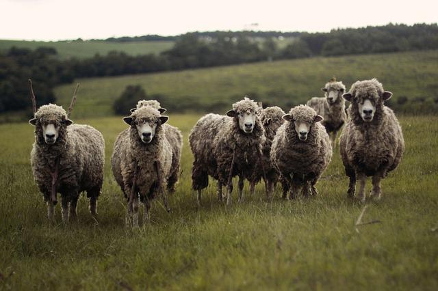 sheep-690371_640